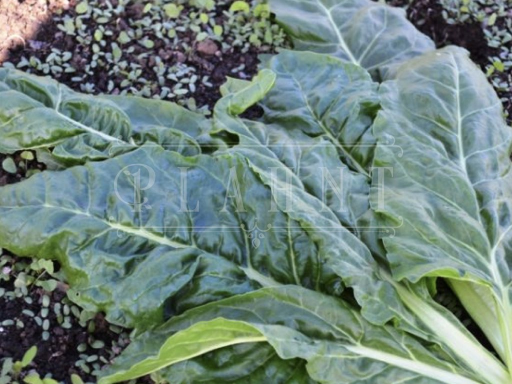 Organic Perpetual Spinach Seeds