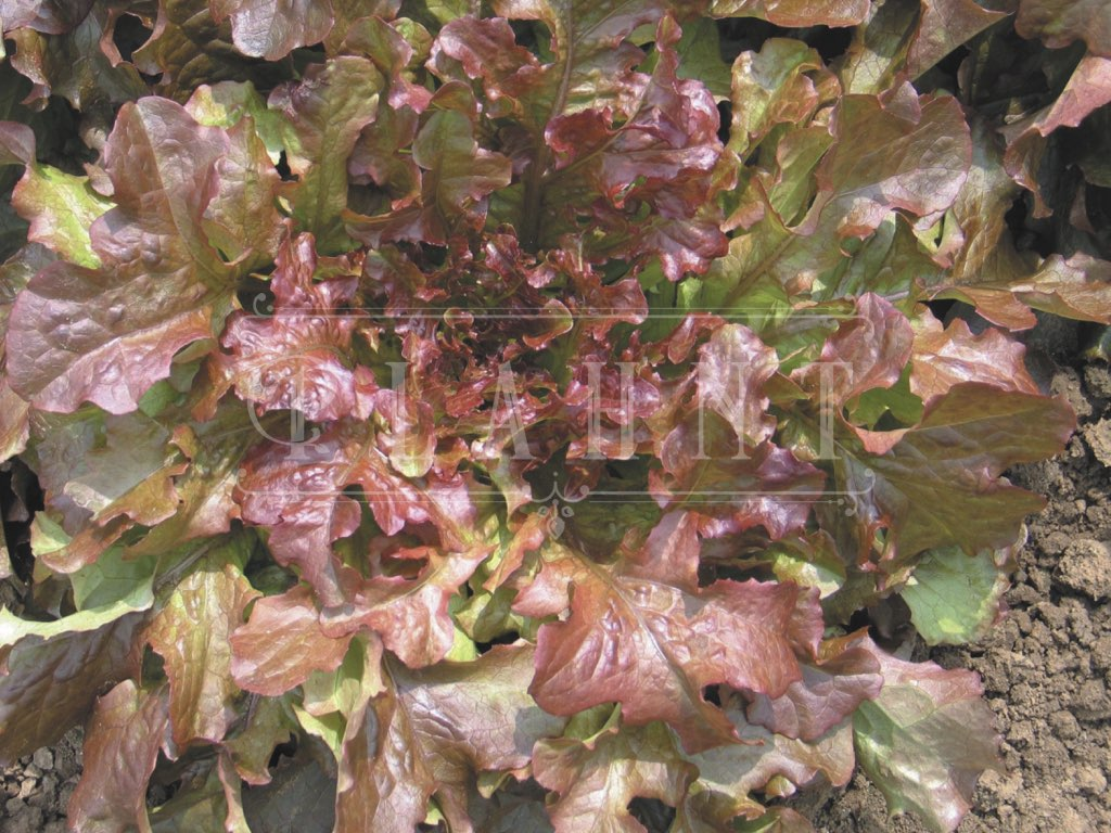 Organic Red Lettuce Salad Bowl Seeds