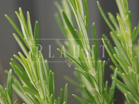 Organic Rosemary Herb Plant Seeds
