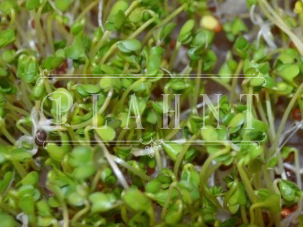 Organic Sprouting Brocolli Seeds