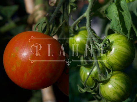 Organic Red Stripey Striped Tomato Tigerella Seeds