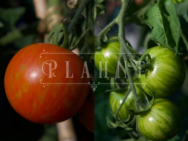 Organic Tomato Collection