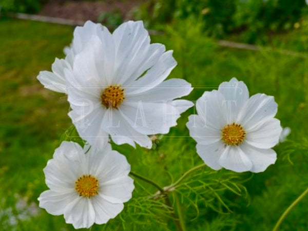 Organic Mixed Cosmos White Plant Seeds
