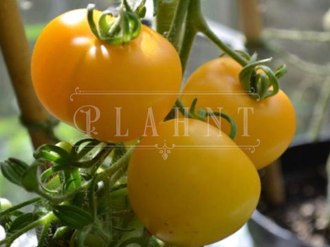 Organic Tomato Yellow Perfection Seeds