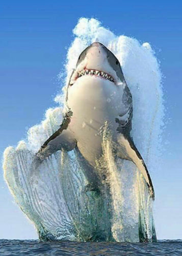 White Shark Painting By nUmber