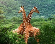 Load image into Gallery viewer, Giraffes in forest painting
