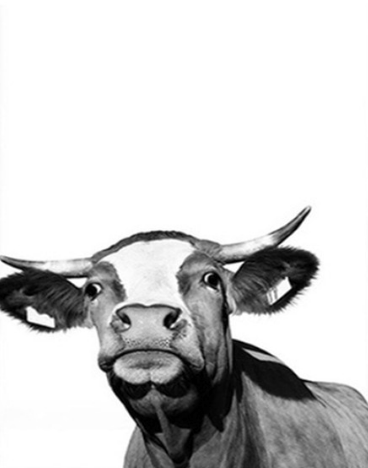 Shocked Cow