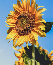 Load image into Gallery viewer, Sunflower Painting Kit