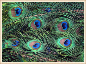Peacock Feathers (per dozen)