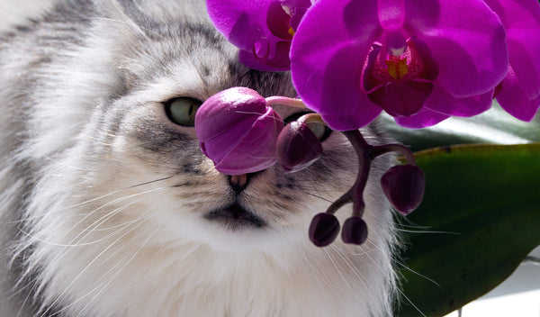 Cats and Flowers Guide: Are Orchids Poisonous to Cats?