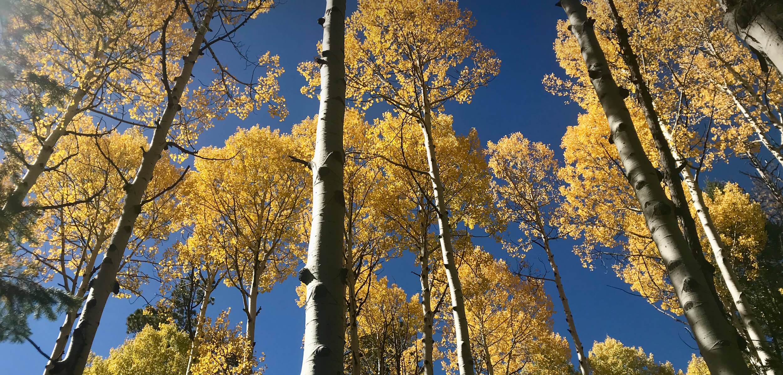 Aspen trees in autumn with yellow leaves in the San Francisco Peaks in Flagstaff Arizona