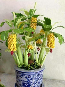 50 Pcs Dwarf Banana Bonsai Tree, Tropical Fruit Tree, Bonsai Balcony Flower for Home Planting, Germination Rate of 95%