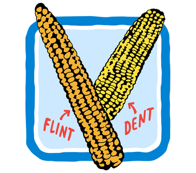 Flint Corn Illustration