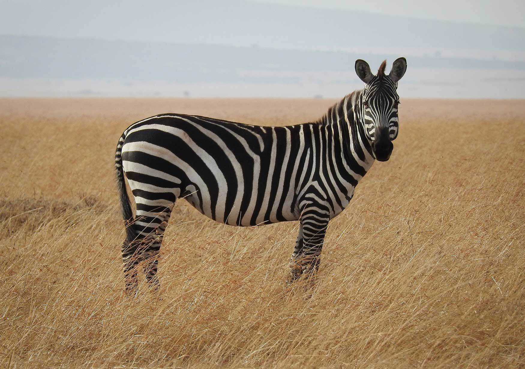 The zebra stripes follow the Fibonacci sequence.