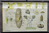 protozoa vintage rollable wall chart poster single-cell organisms