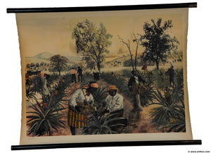 old rollable wall chart poster pineapple harvest picking yield deco fruit dealer