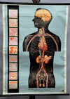 traditional pull-down medical anatomical wall chart poster print