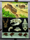vintage poster rollable wall chart, animals, European hare, rabbit, anatomy