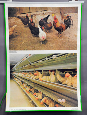 vintage rollable poster wall chart agriculture modern chicken pose stable brood