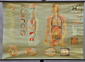 vintage anatomical rollable poster wall chart human body neural nerve system