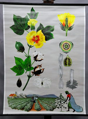 vintage poster rollable wall chart botany plant cottonweed plantation garden
