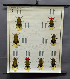 vintage picture poster wall chart, sex chromosomes, bees, biology, genetics
