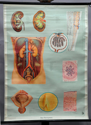 vintage rollable medical wall chart anatomy histology urinary system kidney