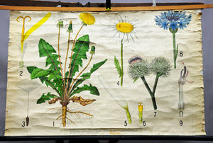 vintage rollable country style wall chart plants dandelion cornflower burdock