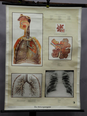 vintage rollable wall chart respiratory system lungs anatomy medicine