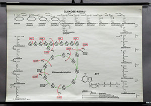 traditional wall chart poster, biology, glucose degradation, citric acid cycle