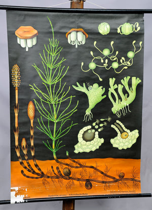 vintage rollable wall chart poster print common horsetail Jung Koch Quentell