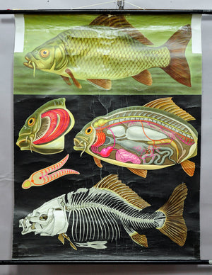traditional wall chart poster, fish, carp, marine decoration, fishing, anatomy