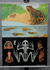 vintage pull-down Quentell wall chart brown common frog tadpole amphibians