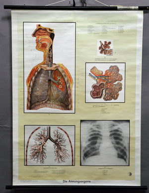 medical anatomical rollable poster wall chart respiratory organ