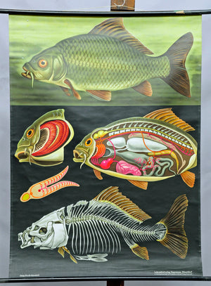vintage school wall chart Jung Koch Quentell, biology, animals, carp, maritime