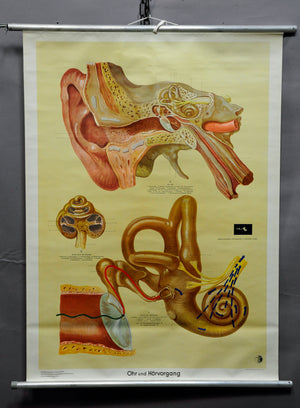 vintage poster rollable wall chart ear hearing process medicine waiting room