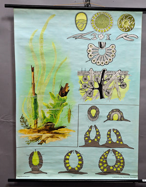 Jung Koch Quentell rollable vintage poster wall chart freshwater sponge maritime