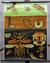vintage Jung Koch Quentell wall chart picture poster insects cockchafer