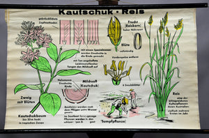 vintage wall chart poster rubber- rice botany plant blossoms countrystyle decor