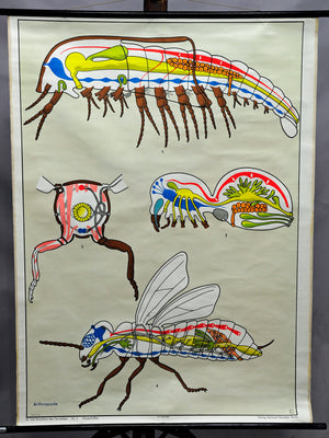 vintage wall chart picture poster insects animals arthropod fly organs