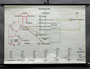 old pull-down wall chart, metabolism, ornithine, biology, chemistry