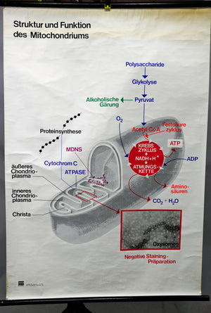 fantastic wall chart picture structure function mitochondrion biology