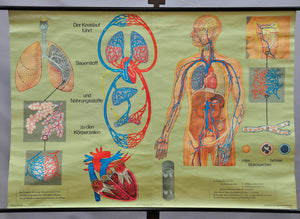 vintage anatomical wall chart human body breathing respiration blood circulation
