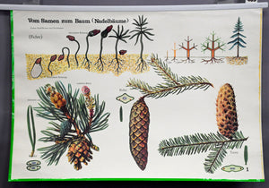 vintage pull-down wall chart botany plants seeds tree conifers cones