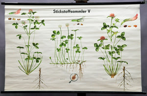 old pull-down wall chart nitrogen collector botany plants clover garden country