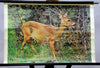 vintage rollable wall chart picture forest deer hunter capreolus capreolus