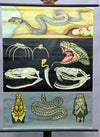 vintage rollable wall chart poster Jung Koch Quentell ring snake common adder