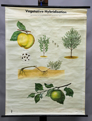 vintage rollable wall chart poster, botany, plants, vegetative hybridisation