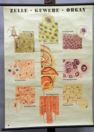 vintage poster biological wall chart, medicine, anatomy, cell- tissue- organ