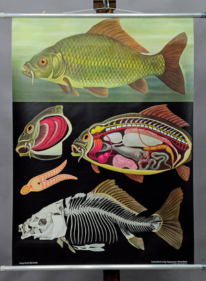 Jung Koch Quentell wall chart poster fish carp marine decoration fishing